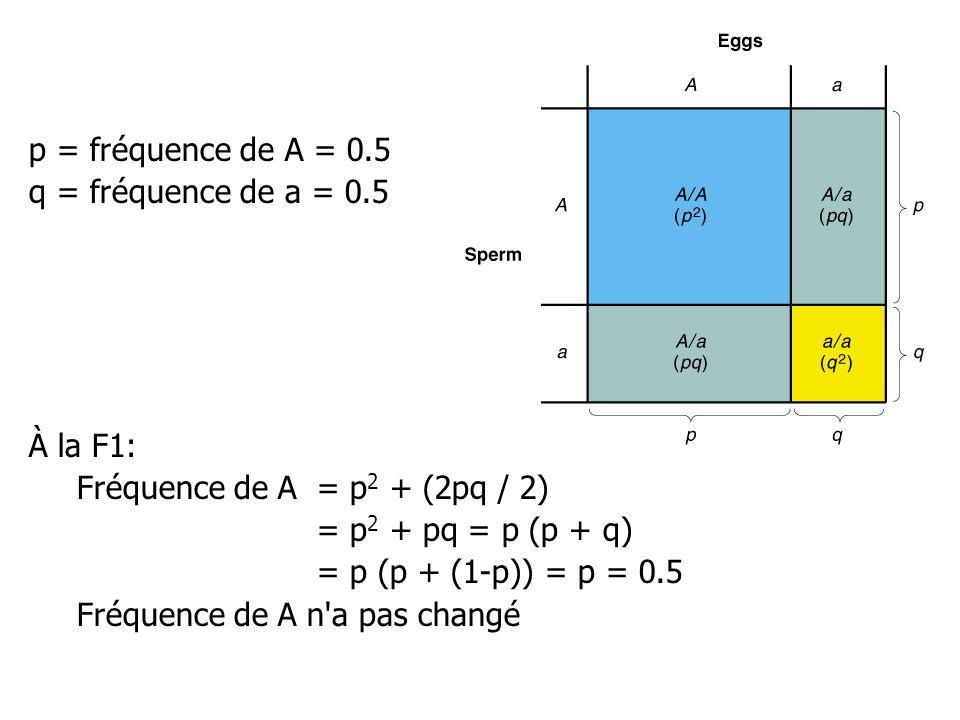 p = fréquence de A = 0.5 q = fréquence de a = 0.5. À la F1: Fréquence de A = p2 + (2pq / 2) = p2 + pq = p (p + q)