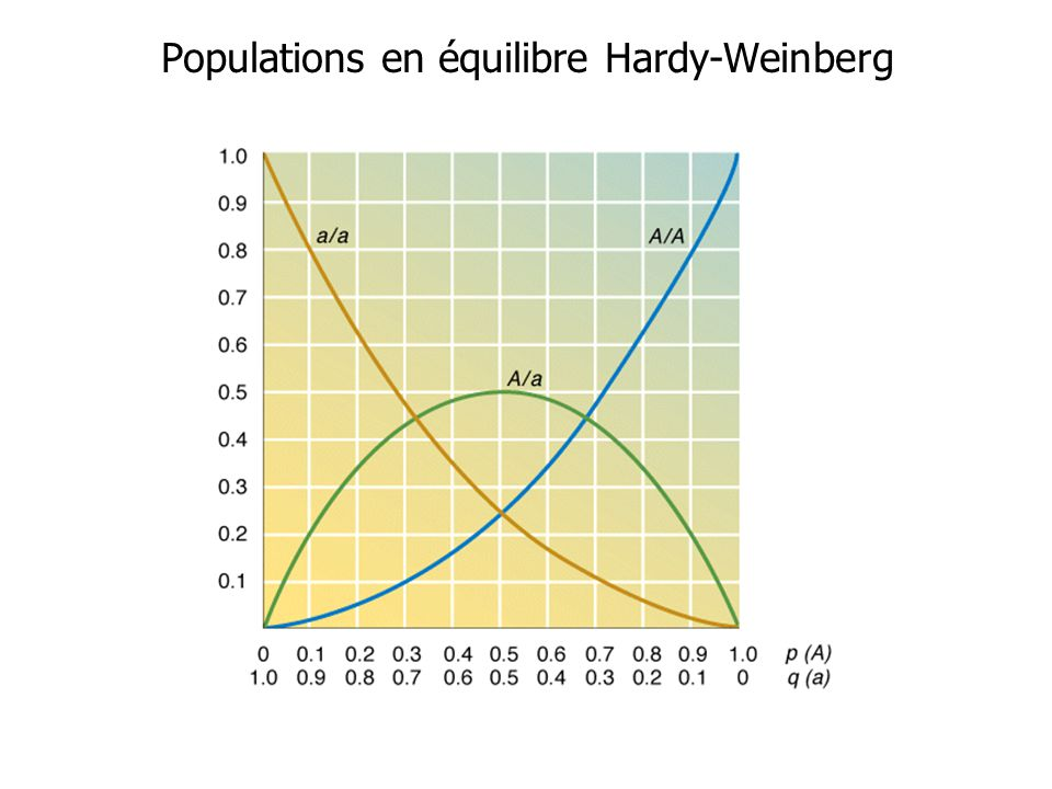 Populations en équilibre Hardy-Weinberg