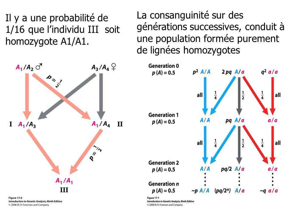 La consanguinité sur des générations successives, conduit à une population formée purement de lignées homozygotes