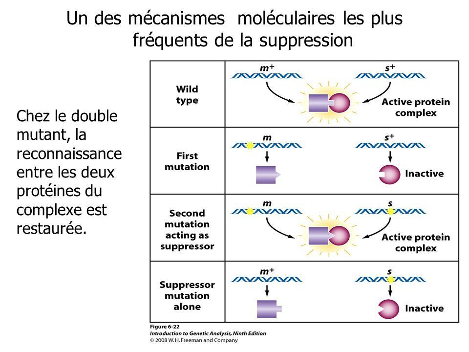 Un des mécanismes moléculaires les plus fréquents de la suppression