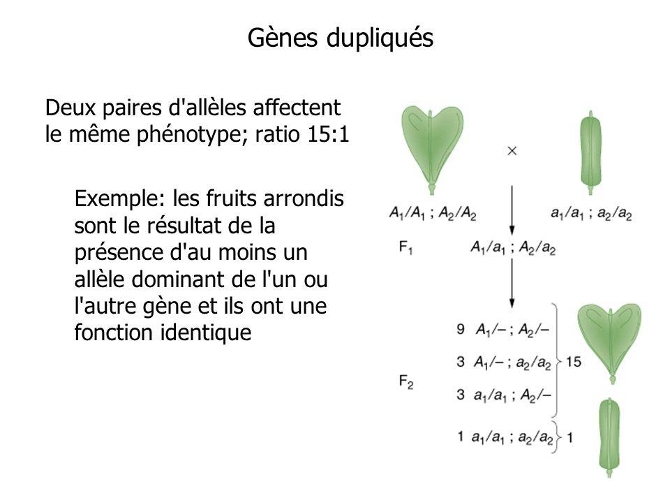 Gènes dupliqués Deux paires d allèles affectent le même phénotype; ratio 15:1.