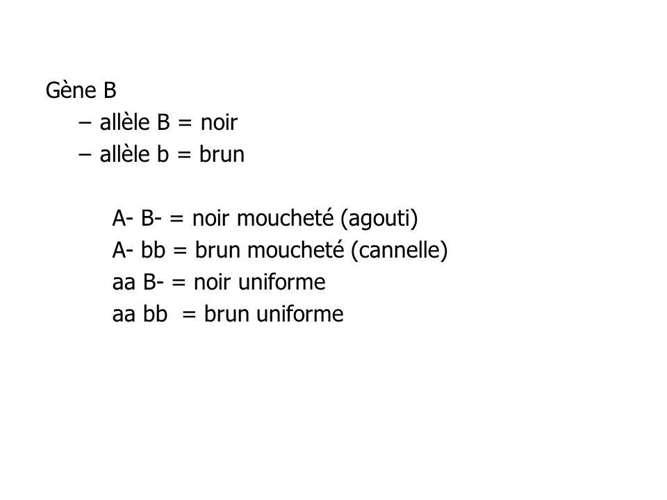 Gène B allèle B = noir. allèle b = brun. A- B- = noir moucheté (agouti) A- bb = brun moucheté (cannelle)