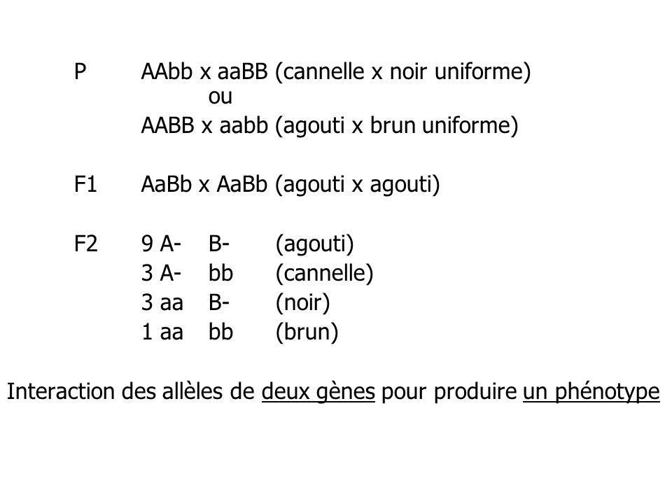 P AAbb x aaBB (cannelle x noir uniforme) ou