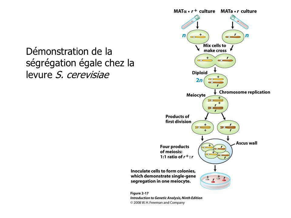 Démonstration de la ségrégation égale chez la levure S. cerevisiae
