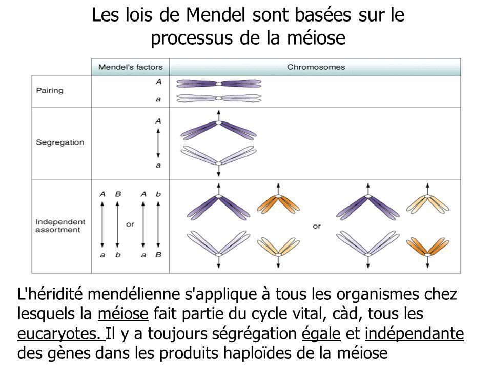 Les lois de Mendel sont basées sur le processus de la méiose