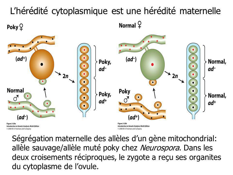 L'hérédité cytoplasmique est une hérédité maternelle