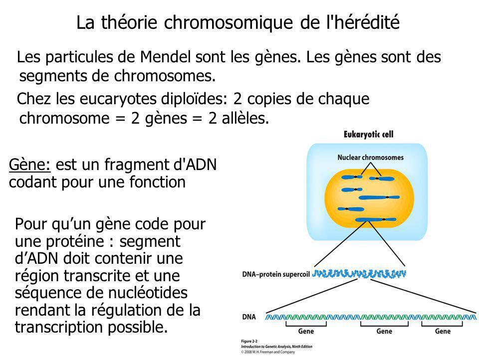 La théorie chromosomique de l hérédité