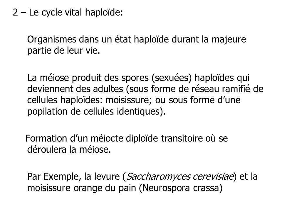 2 – Le cycle vital haploïde: