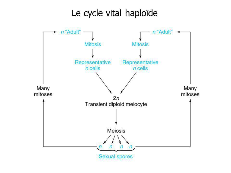 Le cycle vital haploïde