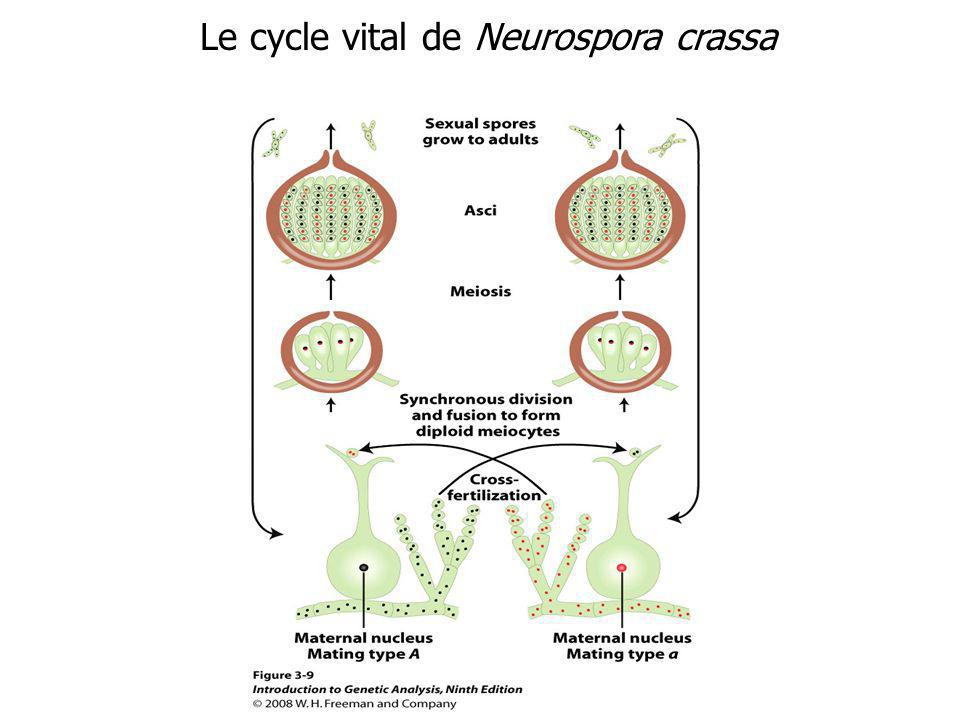 Le cycle vital de Neurospora crassa