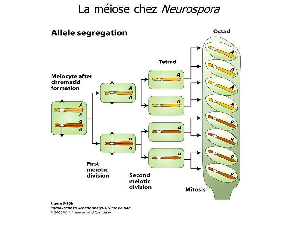 La méiose chez Neurospora