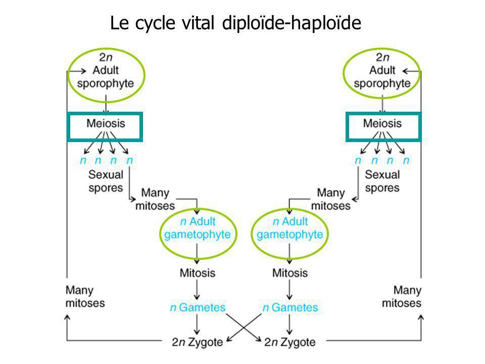 Le cycle vital diploïde-haploïde