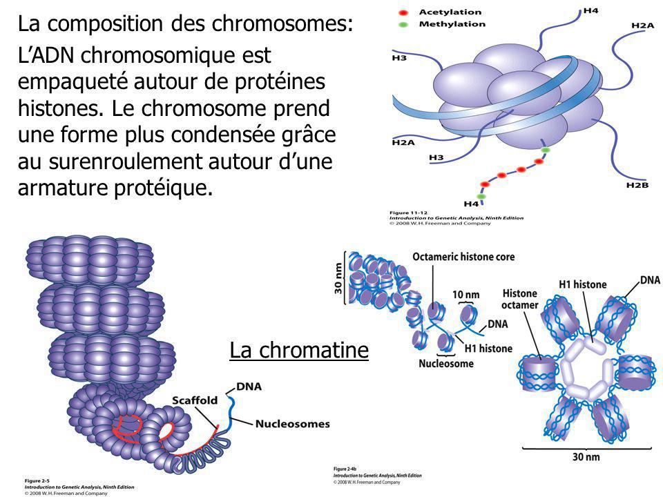 La composition des chromosomes: