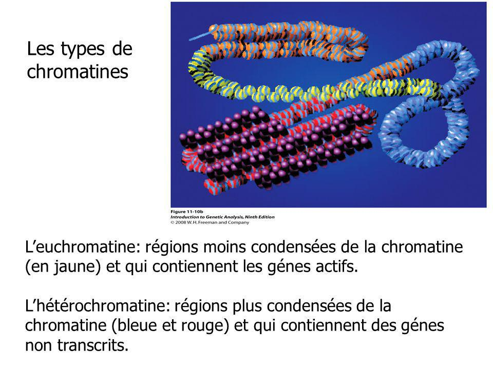 Les types de chromatines