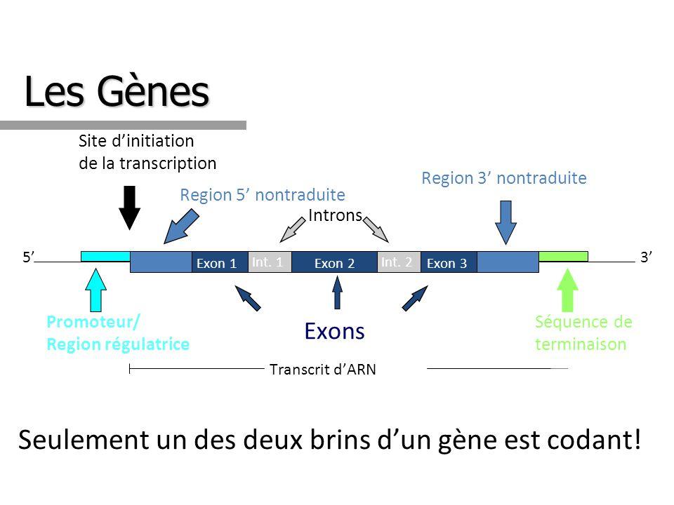 Les Gènes Seulement un des deux brins d'un gène est codant! Exons