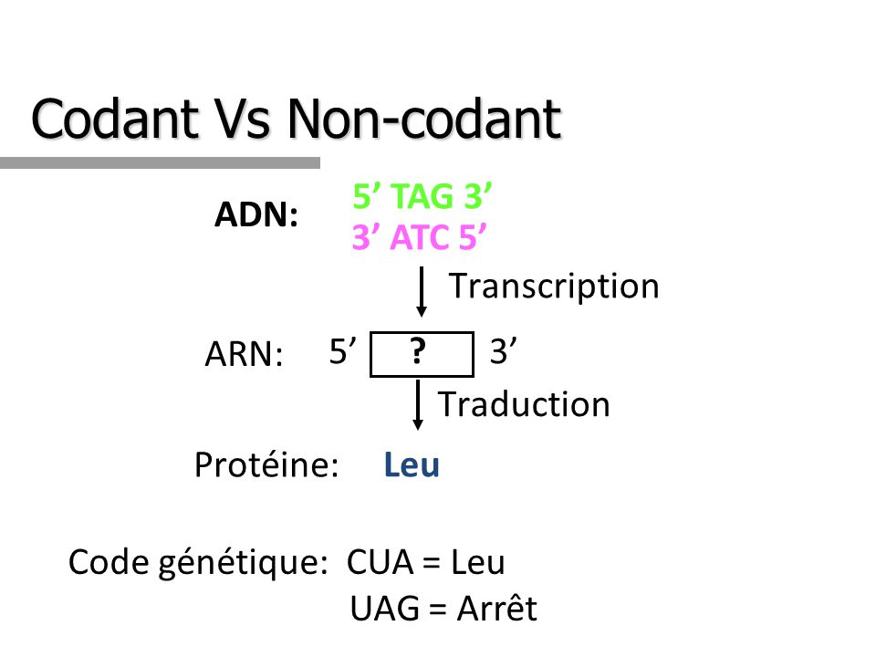 Codant Vs Non-codant ADN: 5' TAG 3' 3' ATC 5' Transcription ARN: 5'