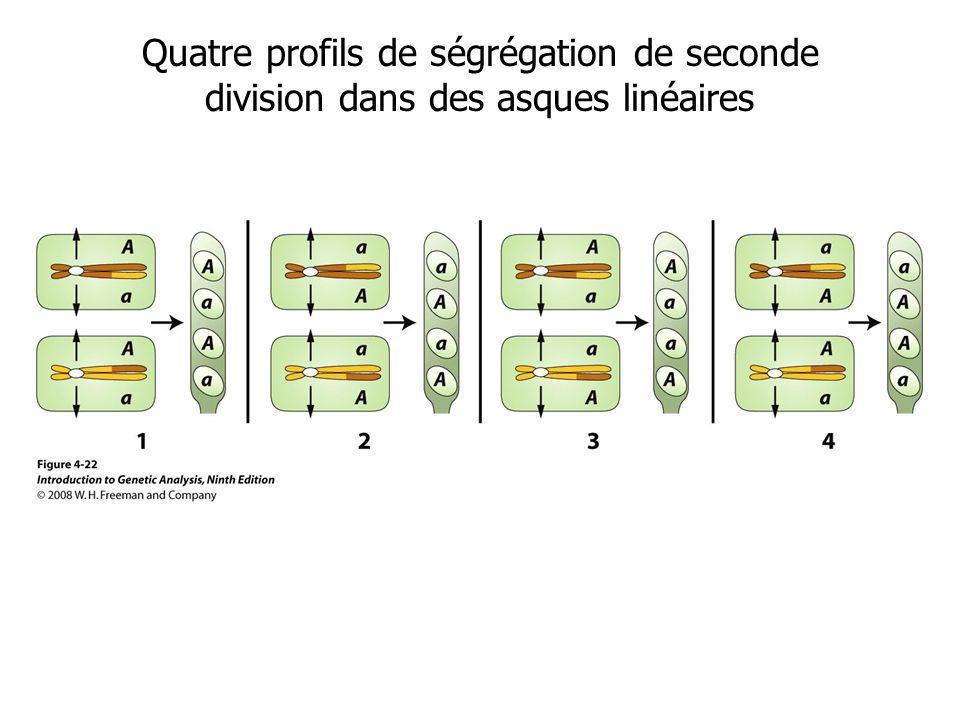 Quatre profils de ségrégation de seconde division dans des asques linéaires