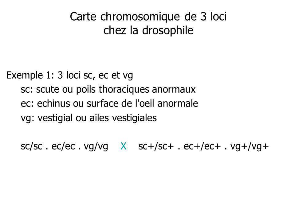 Carte chromosomique de 3 loci chez la drosophile