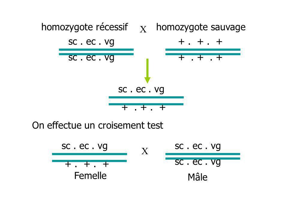 homozygote récessif homozygote sauvage. X. sc . ec . vg. + . + . + sc . ec . vg. + . + . +