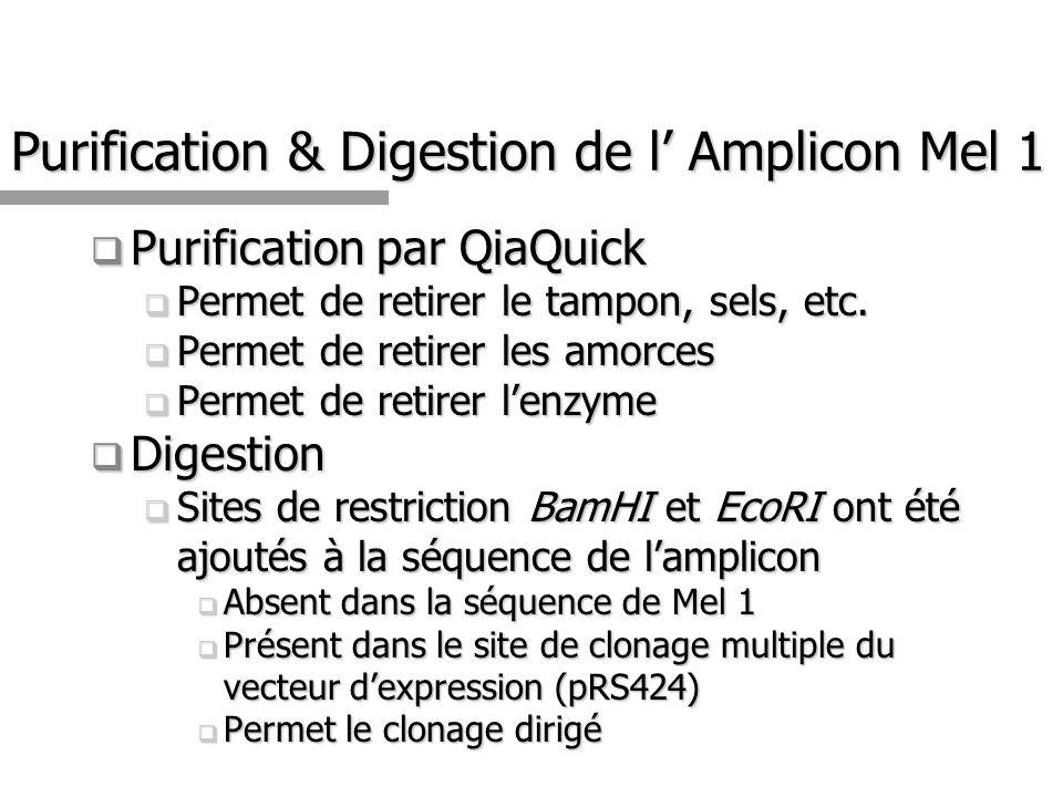 Purification & Digestion de l' Amplicon Mel 1