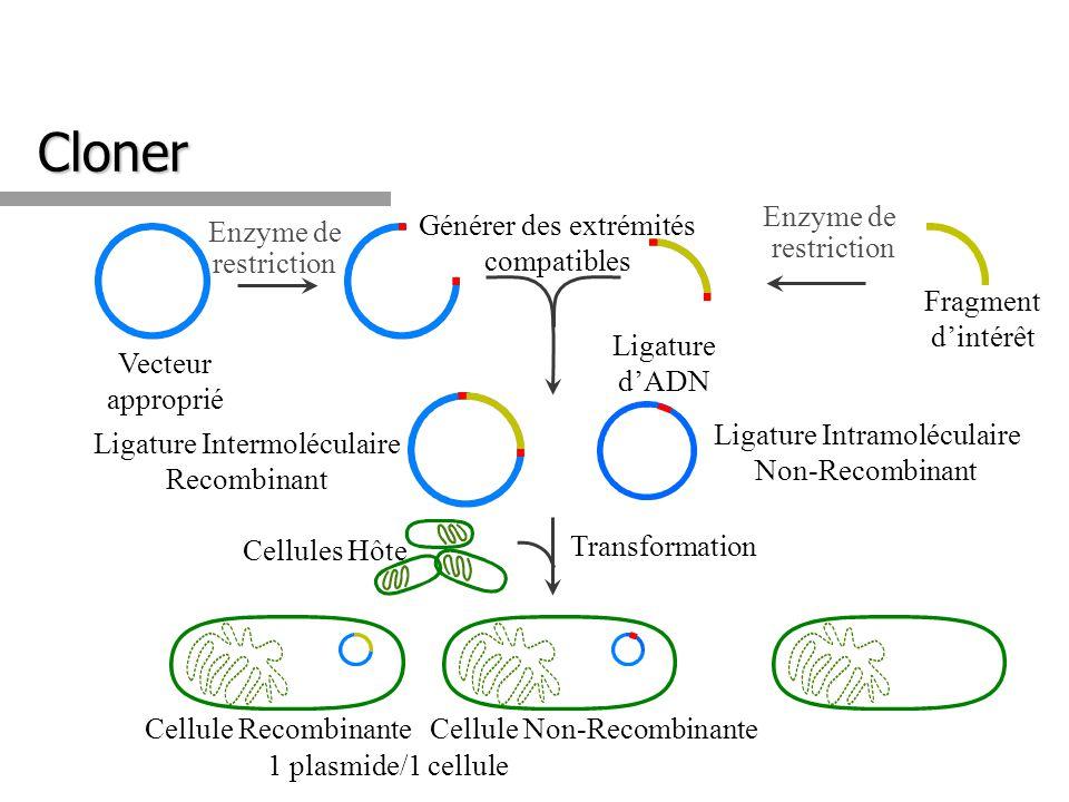 Cloner Enzyme de restriction Enzyme de restriction