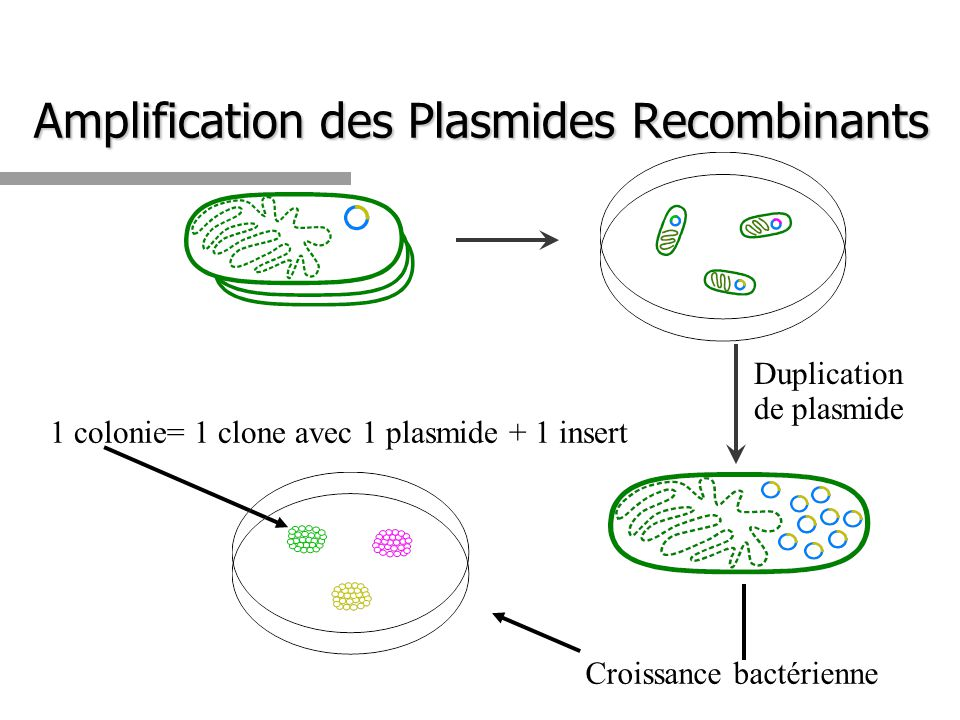 Amplification des Plasmides Recombinants