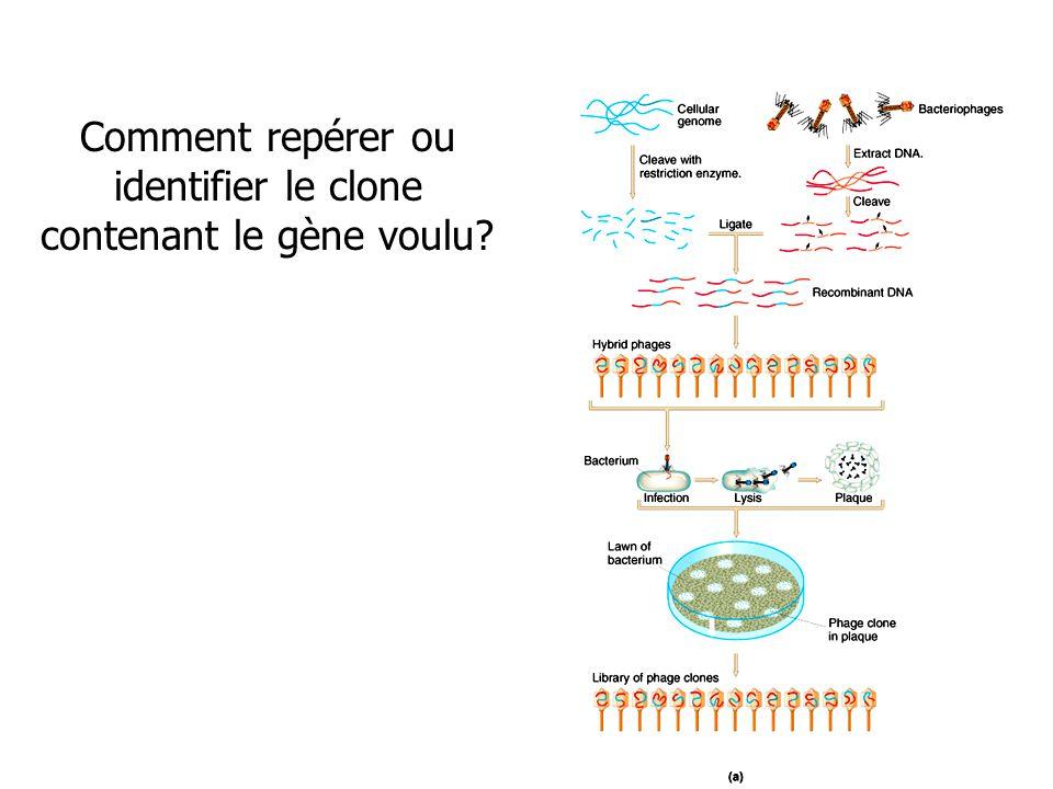 Comment repérer ou identifier le clone contenant le gène voulu