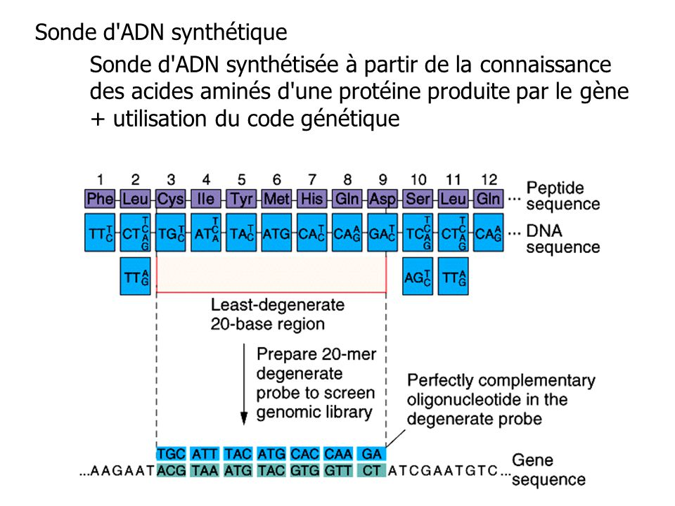 Sonde d ADN synthétique