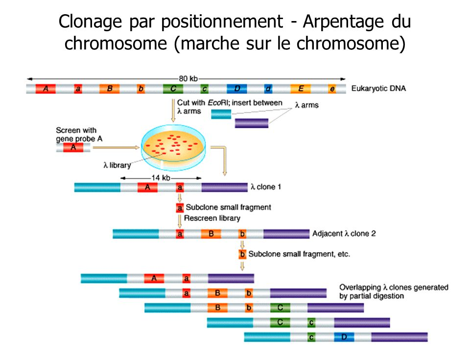 Clonage par positionnement - Arpentage du chromosome (marche sur le chromosome)