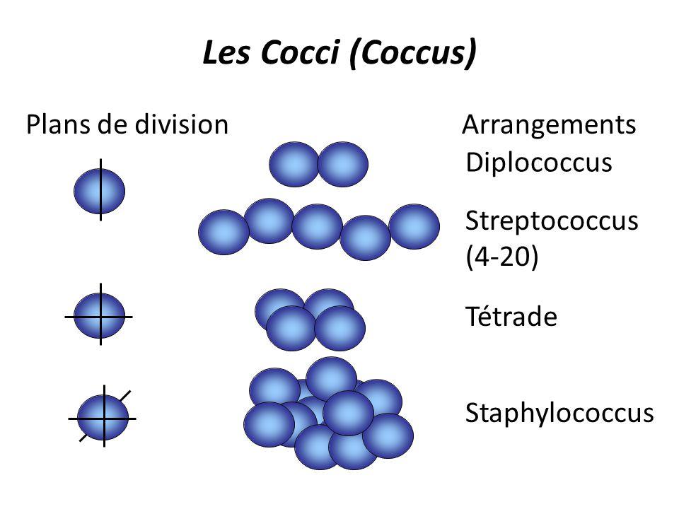 Les Cocci (Coccus) Plans de division Arrangements Diplococcus