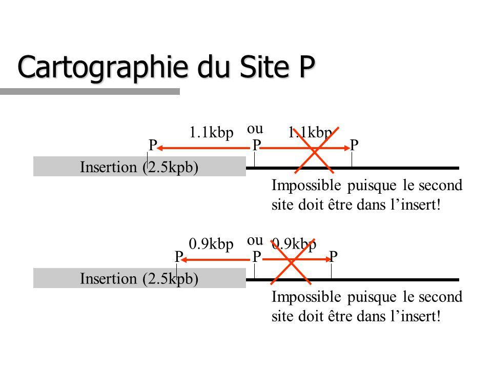 Cartographie du Site P 1.1kbp ou P 1.1kbp P
