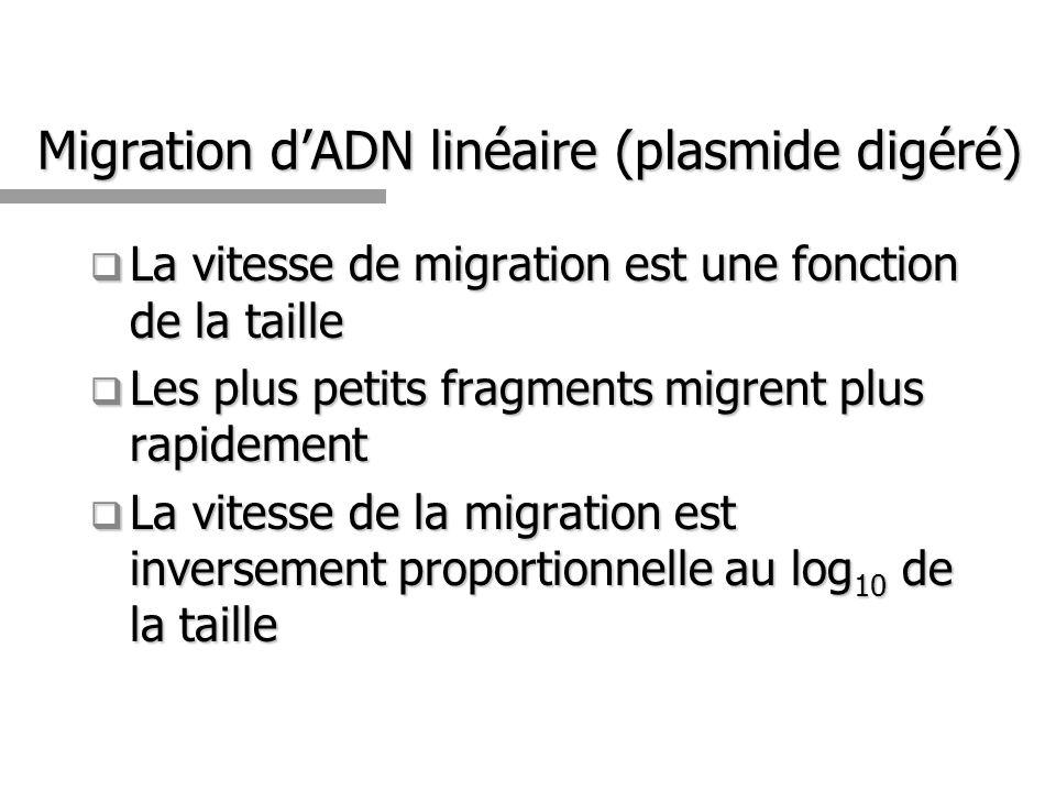 Migration d'ADN linéaire (plasmide digéré)