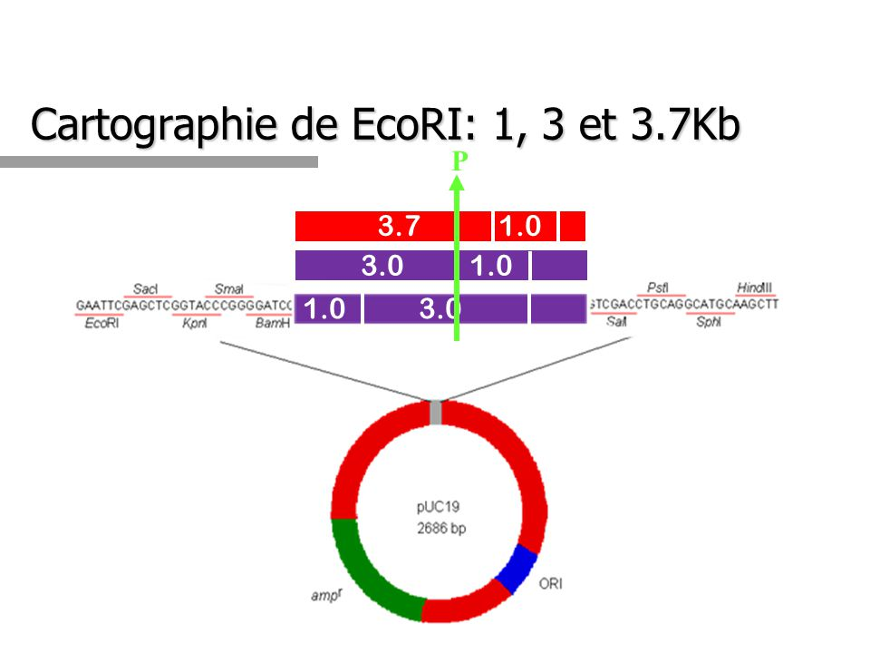 Cartographie de EcoRI: 1, 3 et 3.7Kb