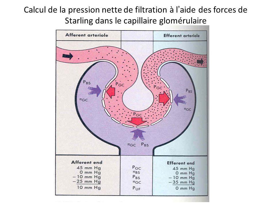 Calcul de la pression nette de filtration à l'aide des forces de Starling dans le capillaire glomérulaire