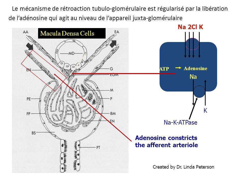 Le mécanisme de rétroaction tubulo-glomérulaire est régularisé par la libération de l'adénosine qui agit au niveau de l'appareil juxta-glomérulaire