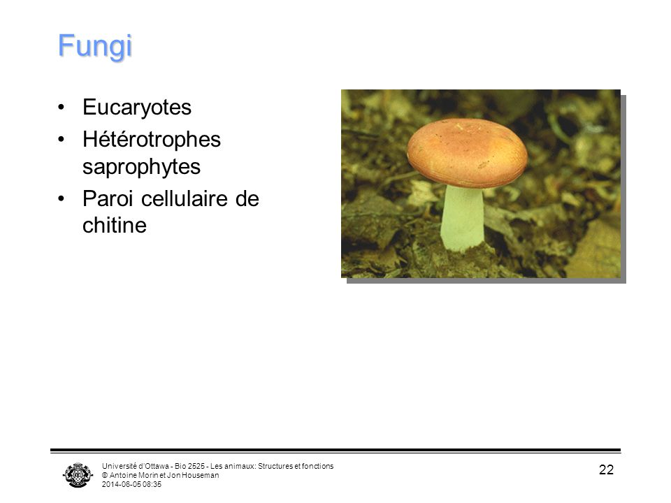 Fungi Eucaryotes Hétérotrophes saprophytes Paroi cellulaire de chitine