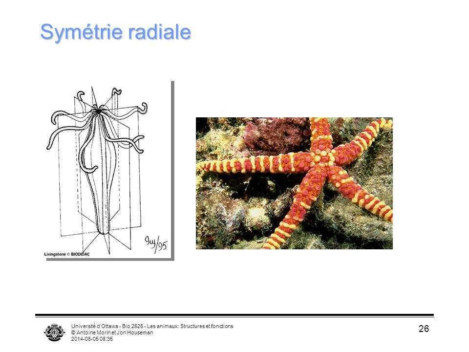 Symétrie radiale Université d'Ottawa - Bio 2525 - Les animaux: Structures et fonctions. © Antoine Morin et Jon Houseman.