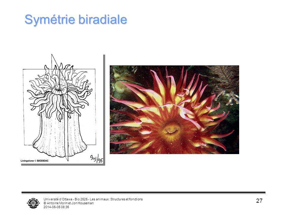 Symétrie biradiale Université d'Ottawa - Bio 2525 - Les animaux: Structures et fonctions. © Antoine Morin et Jon Houseman.