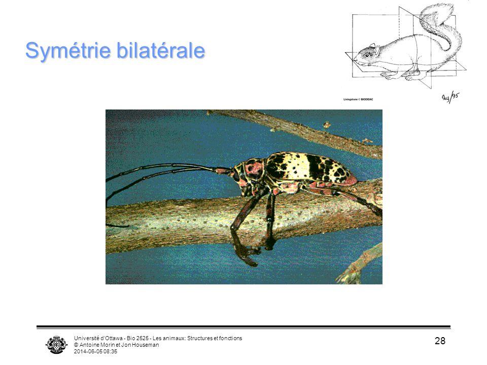 Symétrie bilatérale Université d'Ottawa - Bio 2525 - Les animaux: Structures et fonctions. © Antoine Morin et Jon Houseman.