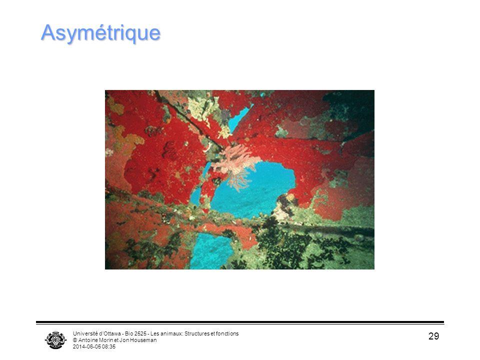 Asymétrique Université d'Ottawa - Bio 2525 - Les animaux: Structures et fonctions. © Antoine Morin et Jon Houseman.