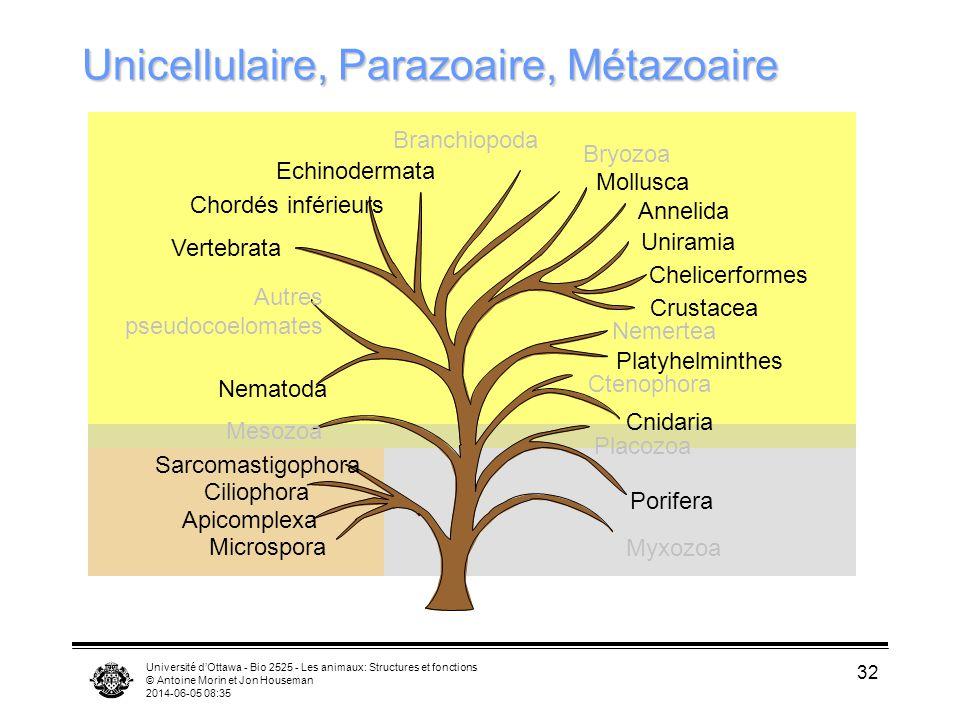 Unicellulaire, Parazoaire, Métazoaire