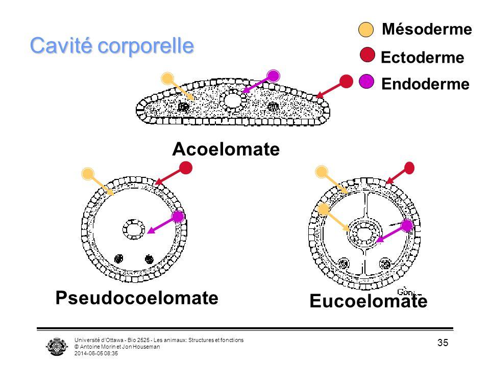 Cavité corporelle Acoelomate Pseudocoelomate Eucoelomate Mésoderme