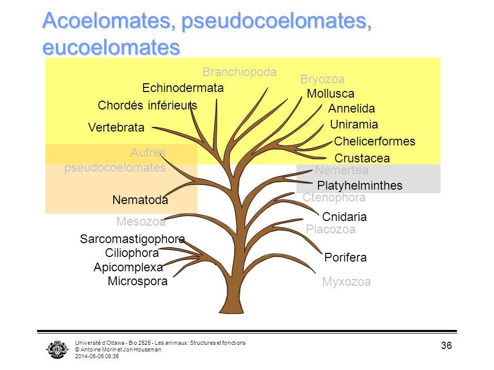 Acoelomates, pseudocoelomates, eucoelomates