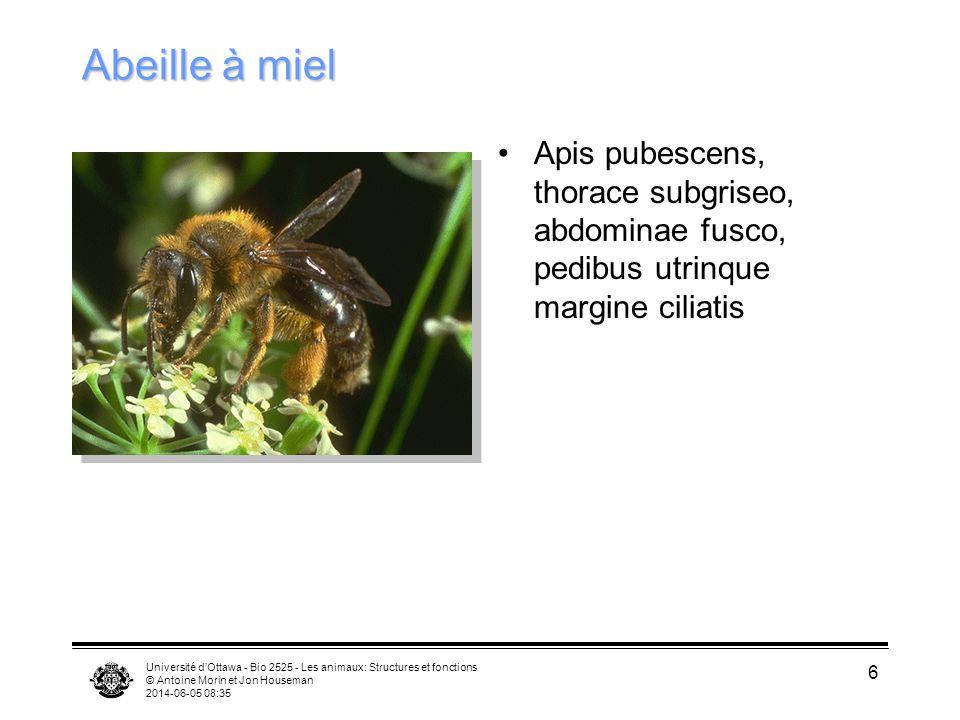 Abeille à miel Apis pubescens, thorace subgriseo, abdominae fusco, pedibus utrinque margine ciliatis.