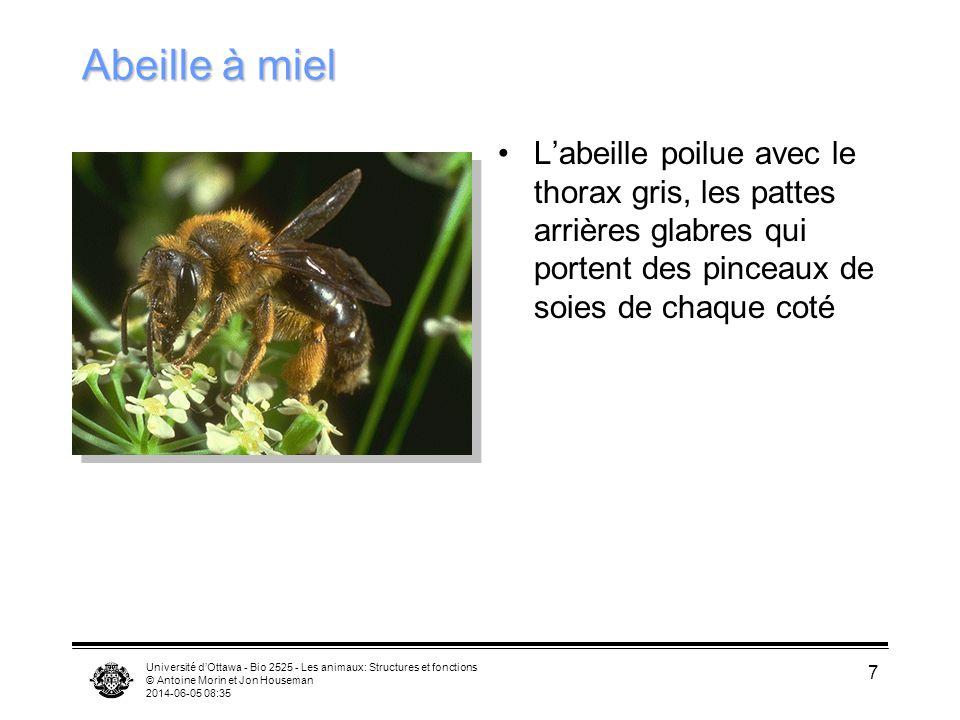 Abeille à miel L'abeille poilue avec le thorax gris, les pattes arrières glabres qui portent des pinceaux de soies de chaque coté.