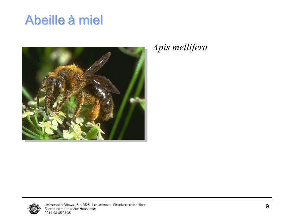 Abeille à miel Apis mellifera