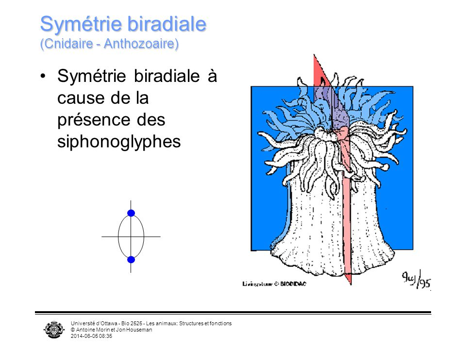 Symétrie biradiale (Cnidaire - Anthozoaire)