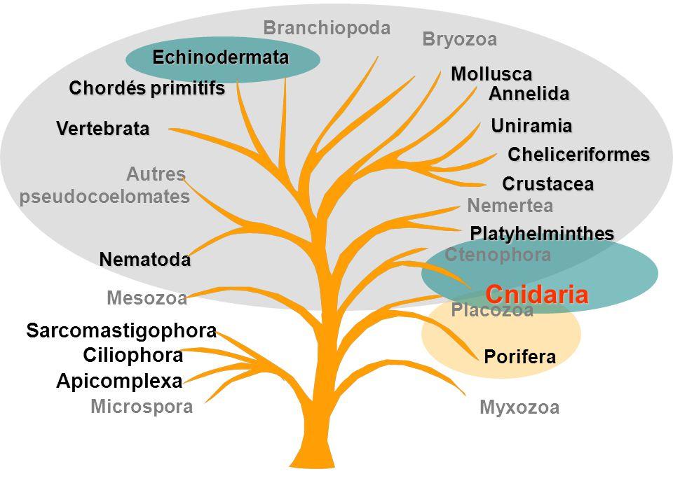 Cnidaria Sarcomastigophora Ciliophora Apicomplexa Branchiopoda Bryozoa