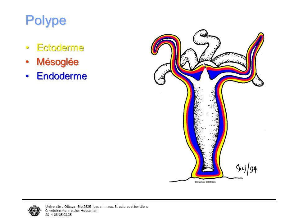 Polype Ectoderme Mésoglée Endoderme
