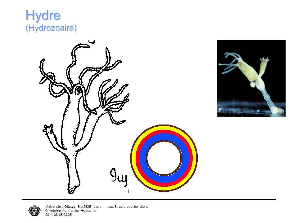 Hydre (Hydrozoaire) Université d'Ottawa - Bio 2525 - Les animaux: Structures et fonctions. © Antoine Morin et Jon Houseman.
